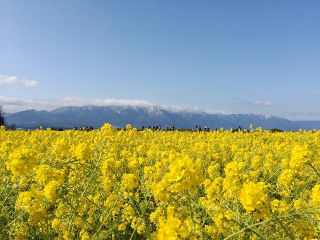 守山市 なぎさ公園 菜の花